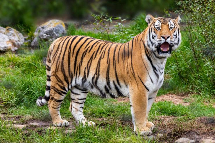 tigre motociclisti India